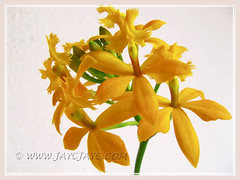 Epidendrum x obrienianum (Epi, Crucifix Orchid, Reed-stem Epidendrum, Sun/Star Orchid, Poor Man's Orchid) in our garden, August 23 2011
