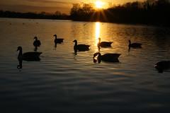IMG_6058 (christophemurphy) Tags: sunset lake geese swan ducks boating rickmansworth aquadrome
