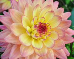 DSC_0079 - Dahlia - Explored! (SWJuk) Tags: park uk dahlia autumn england flower home nikon lancashire bloom burnley 2011 d90 towneley nikond90 platinumheartaward myfreecopyright swjuk sep2011