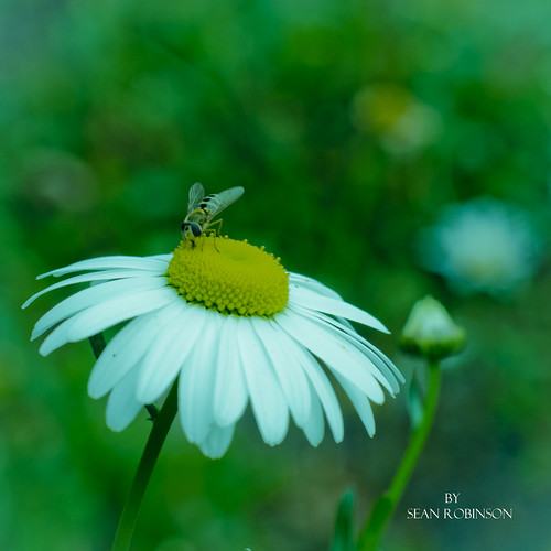 daisy and hoverfly