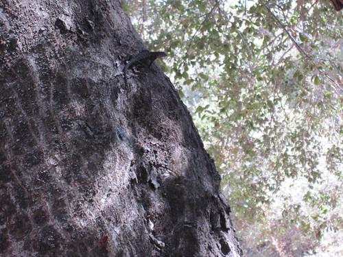 oaks and lizard 003