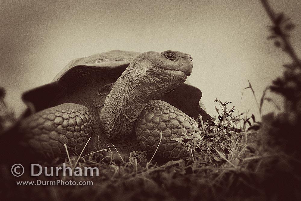 galapagos tortoise (Geochelone elephantopus)