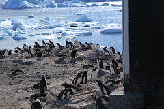 Gentoo Penguins at Waterboat Point, Antarctica