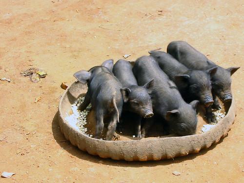 Thailand 11 piglets
