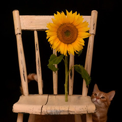 ~ Curiosity ~ (njk1951) Tags: stilllife cat chair squareformat sunflower curiosity gatto onblack oldchair baxterthecat sunfloweronachair