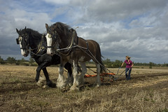 "Tom Cliff's Shire Horses at Aisby (gainsheritage ""Commenting when I Can"") Tags: countryside nikon farming d70s lincolnshire countrylife gainsborough ploughing merlyn shirehorses aisby vintagefarming horseploughing platinumheartaward gainsboroughheritage tractorfete"