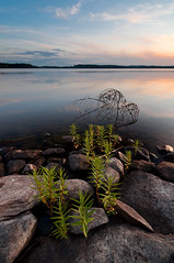 Through the rocks (- David Olsson -) Tags: sunset lake nature water landscape evening nikon rocks raw sundown sweden stones tripod sigma 1020mm polarizer greenplants cpl vrmland cameraraw polarizingfilter lakescape gapern d5000 throughtherocks karlstadkommun davidolsson finnsns 2exposuremanualblend