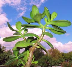 Grassula 1 (Aldo433) Tags: fiore abruzzo pianta ortona grassula