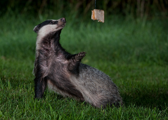 badger peanut butter sandwich