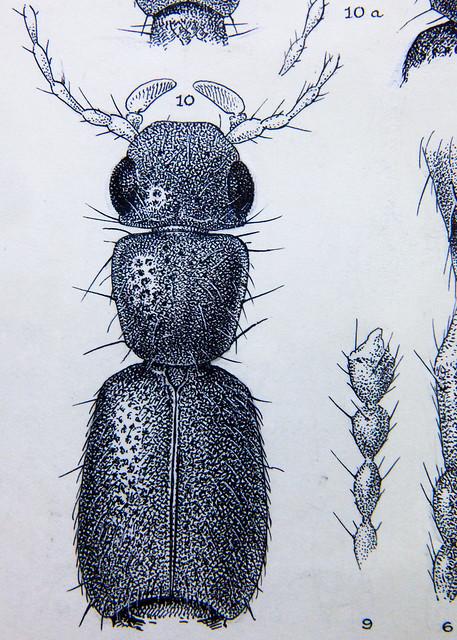 rove beetles