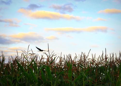 09/16/11 Cornfield Soaring by roswellsgirl