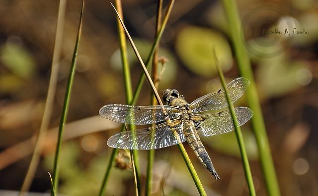 Libellula quadrimaculata macho