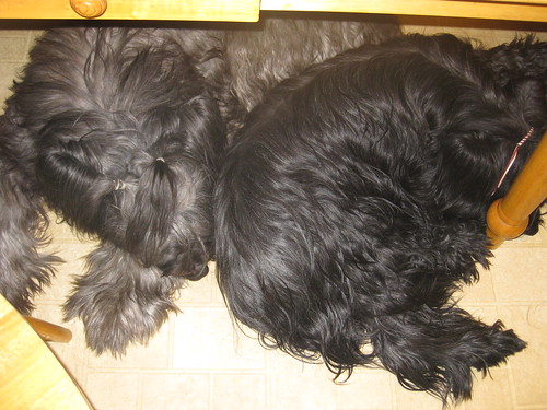 Briards, napping