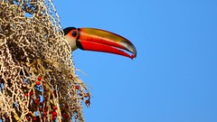 Tucano em Piracaia - SP (Rodolfo Azevedo) Tags: toucan rodolfo tucano azevedo