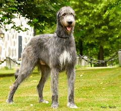 "Greirish Super Bowl - ""Faoln"" (jvp-photo) Tags: irish super olympus bowl e300 wolfhound faoln greirish"