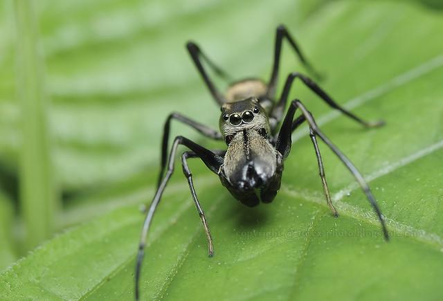 Ant Mimic