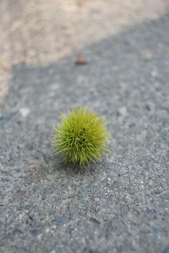 栗の実/chestnut