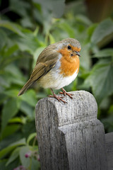 Little robin redbreast (k4wea) Tags: bird robin bench ss friendly mm wisley shuttersisters dailyishphoto mortalmuses