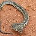 Southern African Python (Python natalensis) juvenile