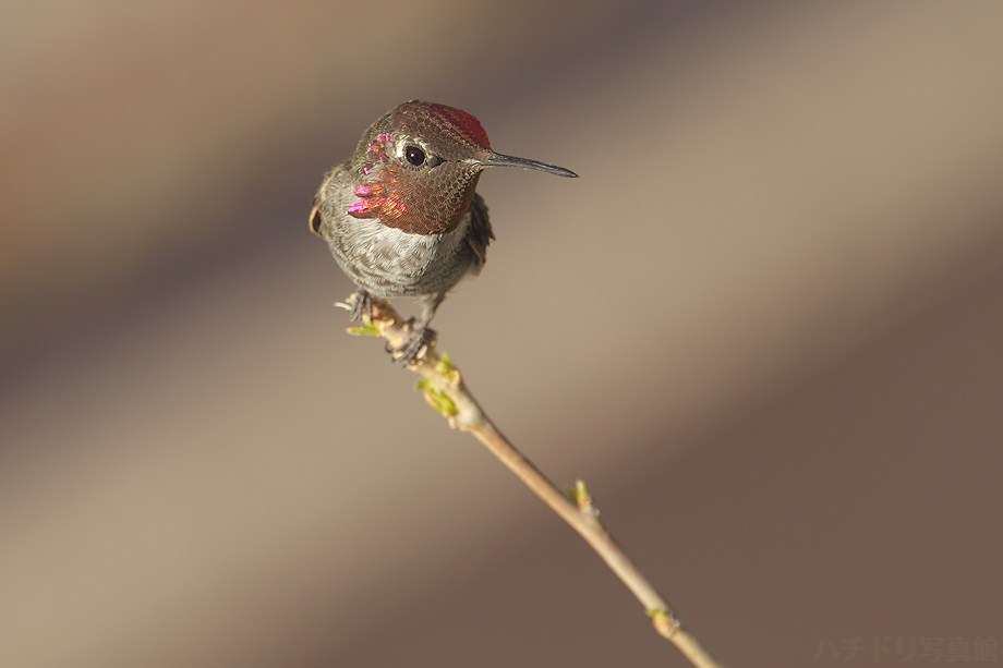 Anna's Hummingbird 081611-3