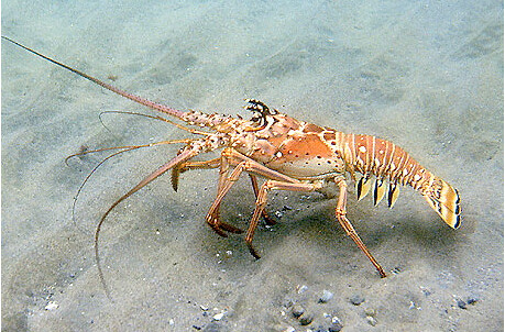 floridalobster