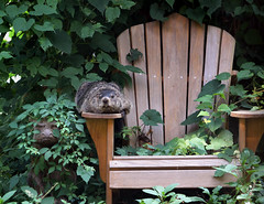 Two Lurkers (anoldent) Tags: chair woodchuck groundhog adirondack