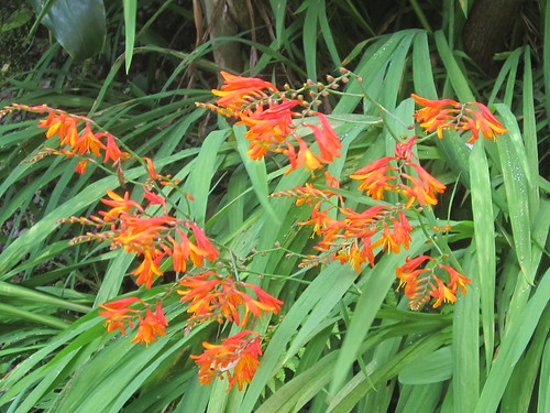 Orange Fire Lily