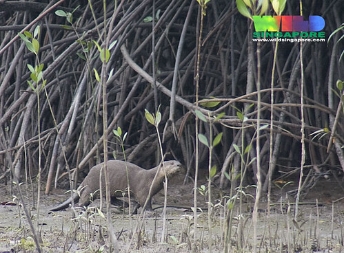 ve also seen otters at Chek Jawa, last month and yesterday . Also ...