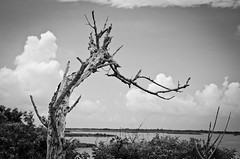 A tree in a wildlife preserve (Lash in Virginia) Tags: tree nc wildlifepreserve hattarasisland