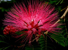 Albizia, Living Burst Of Color (Explored) (Butch Osborne) Tags: flower color nature beautiful interestingness flora guatemala explore burst albizia explored burstofcolor flickrdiamond 1001nightsmagiccity mygearandme