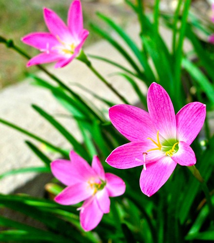 IMG_2194 Pink flowers
