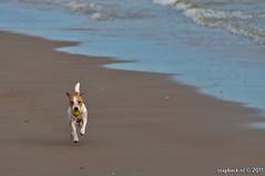 The funniest dog is... (zzapback) Tags: sea dog robert beach strand ball de rotterdam nikon fotografie north noordzee zeeland zee hond tennis catch doggy fetch 18200 bal schouwenduiveland westenschouwen voogd vormgeving d90 grafische vrii bergselaan liskwartier zzapback zzapbacknl robdevoogd stayawakeenjoyyourday