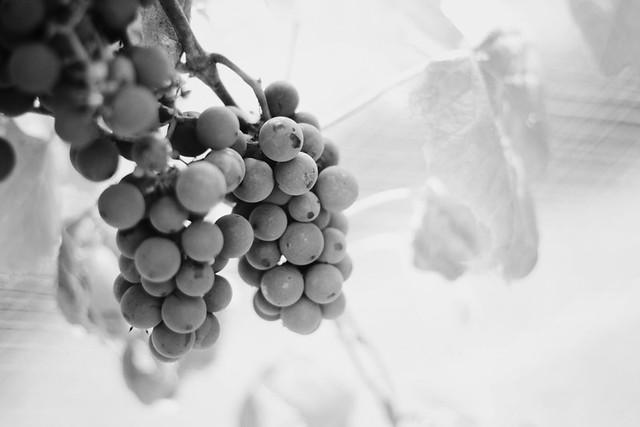 [74/365] boppy's grapevines.