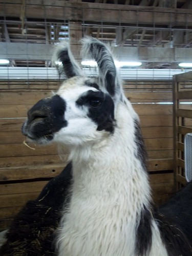Emmett the Llama