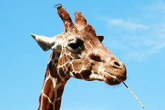 Giraffe. (WeeLittlePiggy) Tags: zoo giraffe