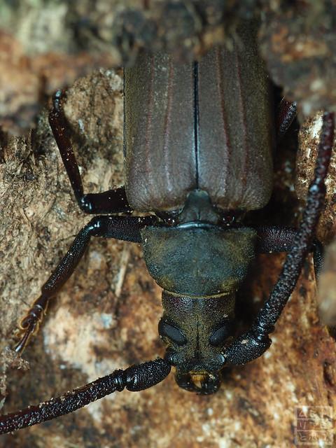 Megopis sinica
