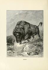 n601_w1150 (BioDivLibrary) Tags: pictorialworks zoology university illinois urbana champaign bhl:page=33500532 dc:identifier=httpbiodiversitylibraryorgpage33500532 bison nationalmammal buffalo american america northamericaanimal northamerican northamerica bovidae taxonomy:binomial=bisonbison mammal mammals