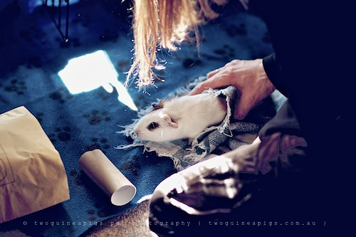 Play, guinea pig Gertrude's portrait by twoguineapigs pet photography