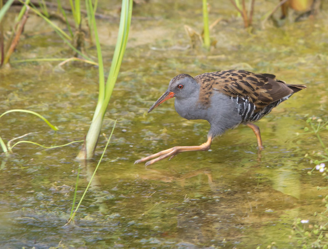water rail running