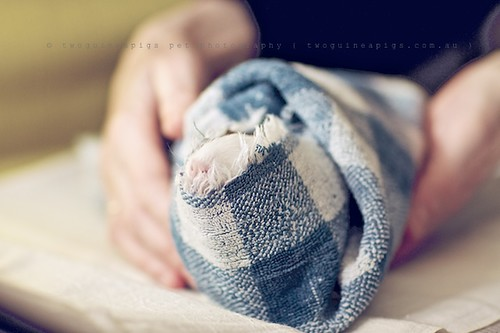 Bundle, guinea pig Gertrude's portrait by twoguineapigs pet photography
