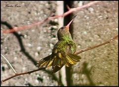 Picaflor (Carlos Casa) Tags: naturaleza bird nature canon lens eos rebel focus 300mm ave m42 manual pajaro 3s russian ef xsi colibri tair foco picaflor enfoque 30045 450d 45300