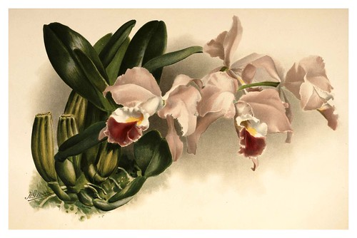 020-Cattleya Labiata Gaskelliana-Reichenbachia-Orchids illustrated and described..VolI I-1888-F.Sander