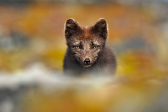 Arctic Fox (Vulpes lagopus fuliginosus) (Gudmann) Tags: nature animal animals iceland wildlife hunting fox sland nttra vestfirir arcticfox alopexlagopus refur skotveii tfa melrakki vulpeslagopusfuliginosus