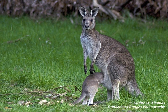 Mummy, let me in... Eastern Grey Kangaroo and Joey