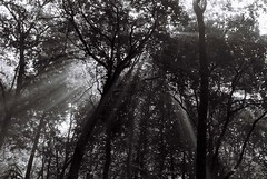 Light beaming through the tree tops