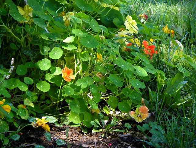 The Edible Nasturtium