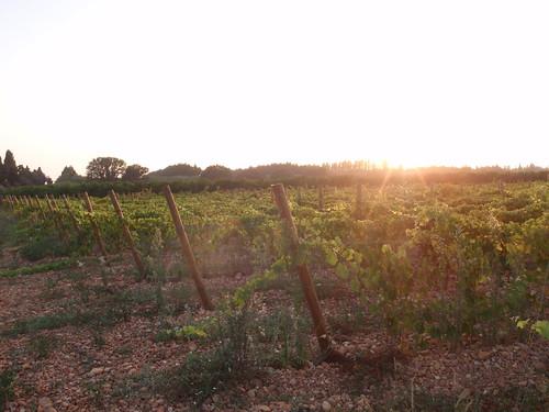 Camargue - winorosle