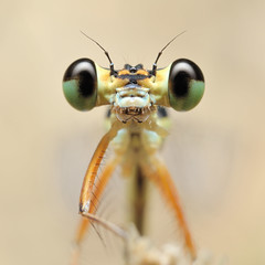 What are you looking at ? (Shin-Nagoya) Tags: macro japan closeup bug insect nagoya  aichi damselfly monopod  extensiontube  sb900 diydiffuser afsmicronikkor60mmf28g