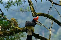 Rhinoceros Hornbill (Malindo Gan) Tags: wild bird nature asian nikon asia aves malaysia southeast hornbill taiping 80200mm perak lakegarden largebird d7000