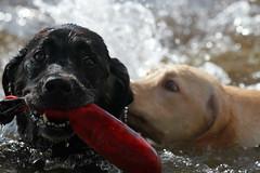 Mine!! (Steve Kachilla) Tags: ocean dog cute puppy fun hawaii funny labrador fetch